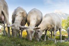 Junge geschorene Schafe lassen am Grashügel weiden Stockfotografie