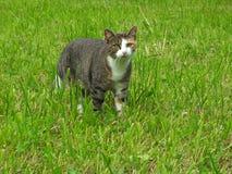 Junge gestreifte Katze, die für Jagd im grünen Gras bleibt Lizenzfreies Stockfoto
