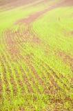 Junge Getreide Stockbilder