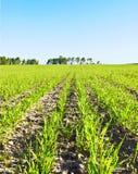 Junge Getreide Lizenzfreie Stockbilder
