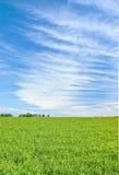 Junge Getreide Lizenzfreies Stockbild