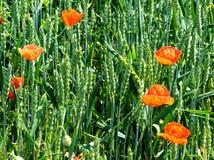 Junge Getreide und Mohnblumen Stockfoto