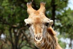 Junge Giraffe Lizenzfreie Stockfotografie