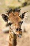 Junge Giraffe, die heraus seine Zunge haftet Stockfoto