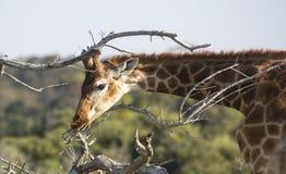 Junge Giraffe, die Zweige isst Stockbild