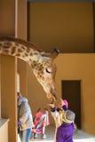 Junge Giraffe und schönes kleines Mädchen am Zoo Kleines Mädchen, das eine Giraffe am Zoo zur Tageszeit einzieht Kind, nette Gira lizenzfreies stockbild