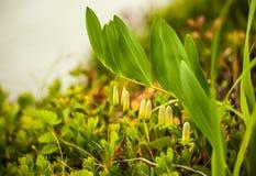 Junge Glockenblumen Stockfoto