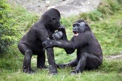 Junge Gorillas, die im Gras spielen Lizenzfreies Stockfoto