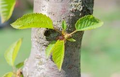 Junge grüne Carpinus- Betulusblätter stockbilder