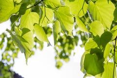 Junge Grünblätter lizenzfreies stockbild