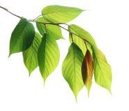Junge Grünblätter getrennt auf Weiß lizenzfreie stockfotografie