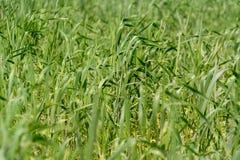 Junge grüne Ährchen des Weizens auf dem Feld auf einem Bauernhof lizenzfreie stockfotos