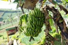 Junge grüne Banane stockfotografie