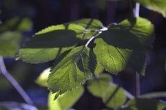 Junge grüne Blätter Stockbild
