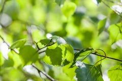 Junge grüne Blätter einer Birkennahaufnahme Stockbilder