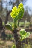 Junge grüne Feigen auf einer Niederlassung im Garten Unscharfer Hintergrund stockfoto