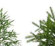 Junge grüne Fichten lokalisiert auf Weiß stockfotografie
