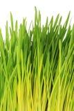 Junge grüne Hafertrieb - weißer Hintergrund Stockfotos