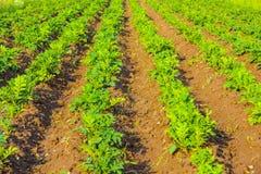 Junge grüne Kartoffeln Stockfotografie