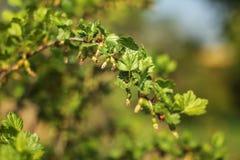 Junge grüne Niederlassung mit Stachelbeerfrucht und -blättern Flacher dep Stockbilder