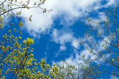 Junge grüne Niederlassungen im Frühjahr, blauer Himmel und Wolken am sonnigen Tag, Kopienraum für Text stockfotografie