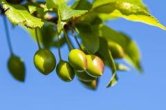 Junge grüne Pflaumenfrucht auf einem Baum, Hintergrund des blauen Himmels Lizenzfreies Stockfoto