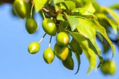 Junge grüne Pflaumenfrucht auf einem Baum, Hintergrund des blauen Himmels Lizenzfreies Stockbild