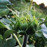 Junge grüne Sonnenblume Lizenzfreie Stockfotos