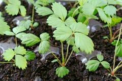 Junge grüne Sprösslinge der Erdbeere Stockfotografie