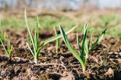 Junge grüne Sprösslinge des Knoblauchs im Frühjahr wachsend vom sonnigen Tag des Bodens Natur, die Konzept weckt lizenzfreie stockfotografie
