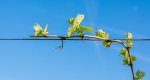 Junge grüne zarte Blätter von Trauben auf einem Hintergrund des blauen Himmels im Frühjahr Lizenzfreie Stockbilder