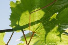 Junge grüne zarte Blätter von Trauben auf einem Hintergrund des blauen Himmels im Frühjahr Stockfotos
