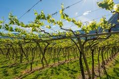 Junge grüne zarte Blätter von Trauben auf einem Hintergrund des blauen Himmels im Frühjahr Weinberg im Frühjahr Lizenzfreie Stockbilder