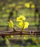 Junge grüne zarte Blätter von Trauben im Frühjahr Selektiver Fokus Lizenzfreie Stockbilder