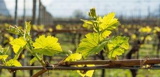 Junge grüne zarte Blätter von Trauben im Frühjahr Selektiver Fokus Stockfotografie