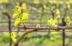 Junge grüne zarte Blätter von Trauben im Frühjahr Selektiver Fokus Lizenzfreies Stockbild