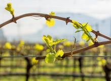 Junge grüne zarte Blätter von Trauben im Frühjahr Selektiver Fokus Lizenzfreie Stockfotografie