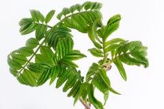 Junge grüne Zweige der Eberesche lokalisiert auf weißem Hintergrund Lizenzfreie Stockfotografie