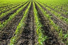 Junge Grünkernanlagen auf Ackerland Stockfotos