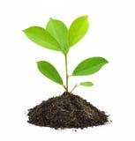 Junge Grünpflanze. lizenzfreie stockfotografie