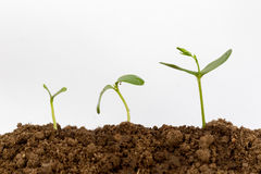 Junge Grünpflanze lokalisiert auf einem weißen Hintergrund Lizenzfreie Stockfotos