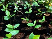 Junge Grünpflanzekeimung Stockfotos