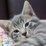 Junge graue Katze stockbild