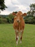 Junge Guernsey-Kuh Lizenzfreies Stockbild