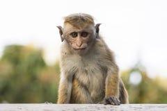 Junge, hässlicher schauender Makaken-Affe, Sri Lanka Stockfotografie