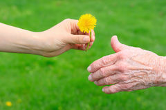 Junge Hand, die der älteren Dame einen Löwenzahn gibt Lizenzfreie Stockbilder
