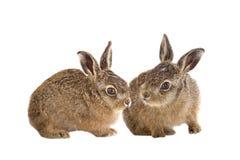 Junge Hasen 3 Wochenalte lokalisiert Lizenzfreie Stockfotografie