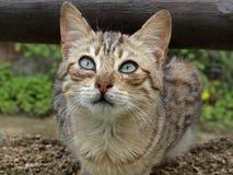 Junge Hauskatze (Felis silvestris catus) Lizenzfreies Stockbild
