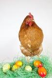 Junge Henne mit gemalten Eiern Lizenzfreie Stockbilder