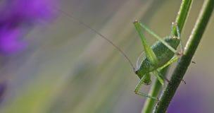 Junge Heuschrecke auf Zweig des Lavendels Stockfoto